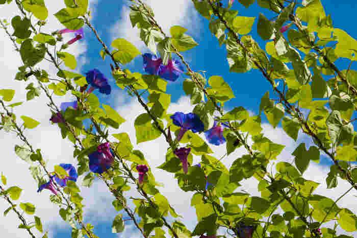 朝に咲いたブルーの花が夕暮れにピンクへと変化します。