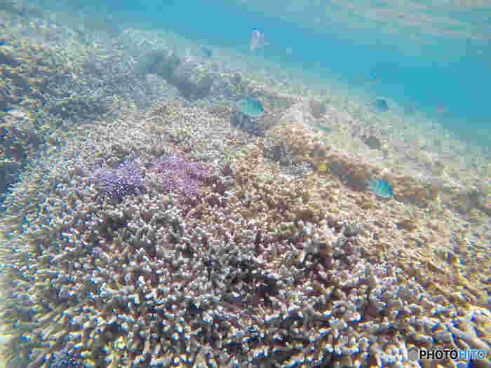 新城海岸の海中の美しさは傑出しています。陽射しを浴びて輝く水面、色とりどりの熱帯魚、まるで林のようなサンゴ……。ここでは、映画「ファインディング・ニモ」の世界に迷い込んだかのような気分を味わうことができます。