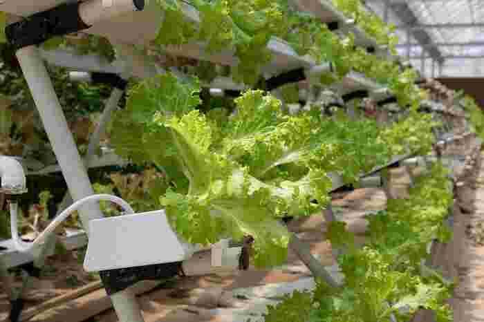 水質が悪化した水に長い時間浸かっていたり、根の全体や茎まで浸かっていたりすると、根や作物の底が腐ってしまいます。根腐れを防ぐために効果的なのがエアポンプ。水に流れができるほか、植物の生長に必要な酸素量を増やし根腐れを防止します。