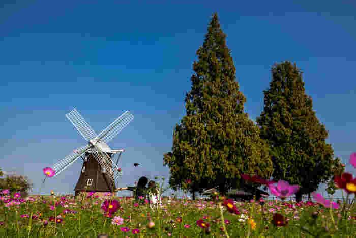 あけぼの山農業公園は、1995年に柏市施行40周年記念として開園された公園です。オランダを連想させる大きな風車がある風車広場は約2.2ヘクタールのお花畑となっています。濃淡ピンク、白、黄色、赤色のコスモスで覆いつくされた風車広場は、まるでメルヘンの世界を彷彿とさせる趣です。