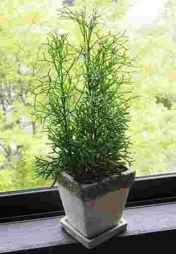 こちらのリプサリスという植物は、葉っぱの先が二手に分かれてチョキの形になった個性的なビジュアル。初心者さんでも育てやすい、丈夫なサボテン科の植物です。