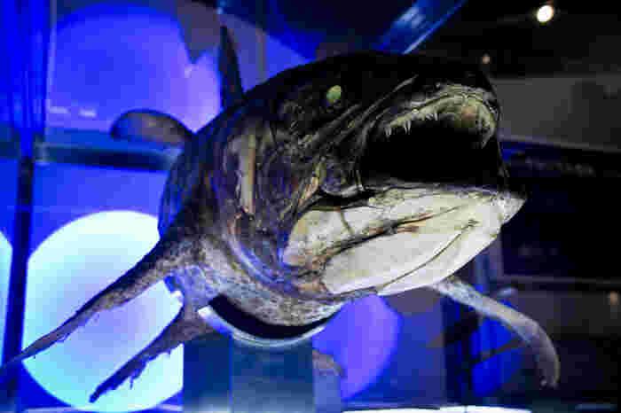 シーラカンスの標本は、一目見るだけで圧倒されてしまうような迫力さがあります。沼津港深海水族館では海洋生物の見せ方にもこだわっており、来るたびに新しい発見をしてもらえるように工夫しているそう。