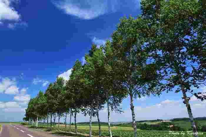 セブンスターの木の近くから続く白樺並木も、とても絵になるのでこちらもお見逃しなく。
