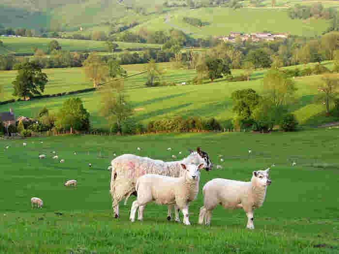 ヤギや羊などの動物たちが放牧されている牧草地を歩いているとは、まるで絵本の世界に迷い込んだような気分を覚えます。