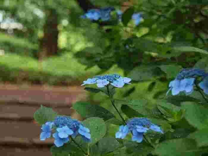 ここ「皇居東御苑」は、どの季節に訪れても、それぞれに味わい深く、伸び伸びとした心地良い一時過ごます。  桜の春を見送ってしまっても、ここではいつでも、貴方を癒やす無数の生命が光り輝いています。ぜひ「東御苑」を訪れて、心も身体もリセットして、貴方の日々をリフレッシュいたしましょう。  【苑内「富士見多聞」付近のアジサイ。天守台北側でも鑑賞出来る。見頃は、例年6月上旬から7月上旬。】