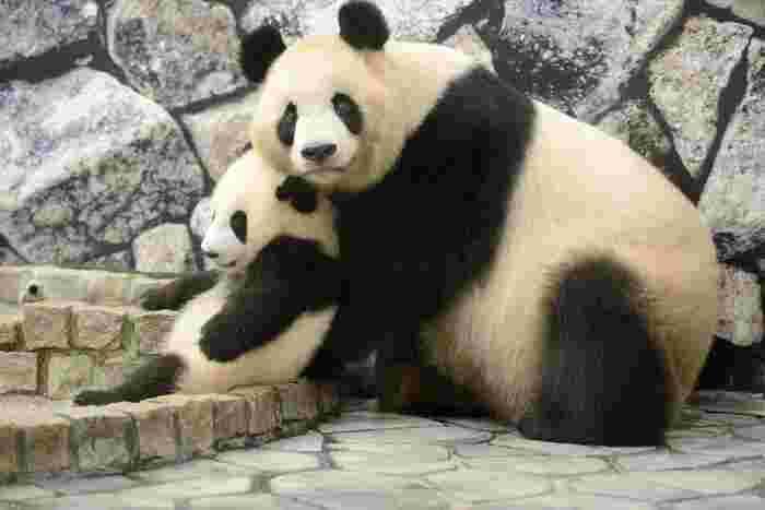 アドベンチャーワールドは、幾度となくパンダの繁殖を成功させています。赤ちゃんパンダが産まれた時期にアドベンチャーワールドを訪れると、愛らしいパンダの親子に会うことができます。