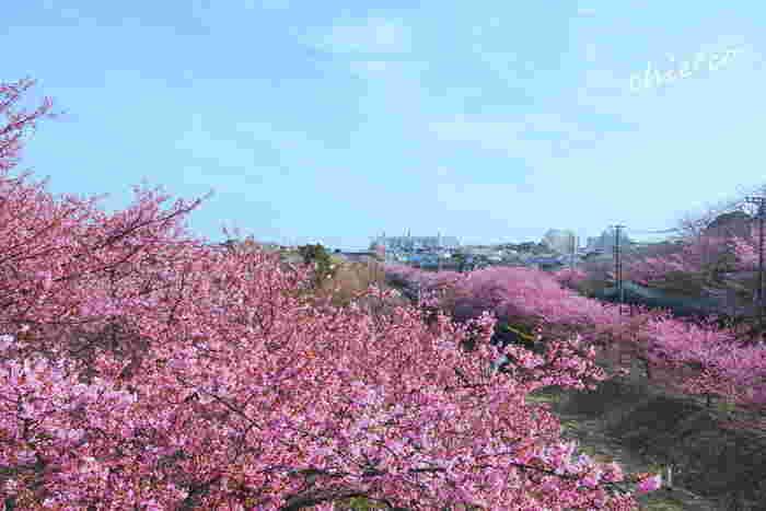 三浦海岸では、京浜急行電鉄「三浦海岸」駅から小松池公園までの線路沿いには、たくさんの濃ピンク色の花びらをした河津桜が植樹されています。ここは、三浦市における桜の名所として市民の憩いの場となっています。