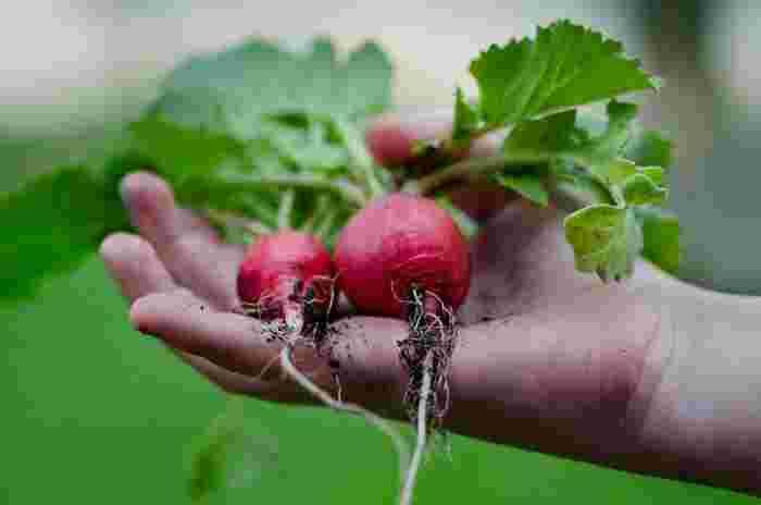 遅くても10月下旬までには種まきしましょう。1ヶ月もすれば収穫できるほど成長が早い野菜です。サラダやピクルス、お正月料理にもビビットな赤色が料理を盛り上げてくれそうですね。15度を下回らないように維持したいもの。日当たりの良い場所でを好みます。プランターでも育てられます。芽が育ってきたら5cm程度間隔をとって間引きしましょう。