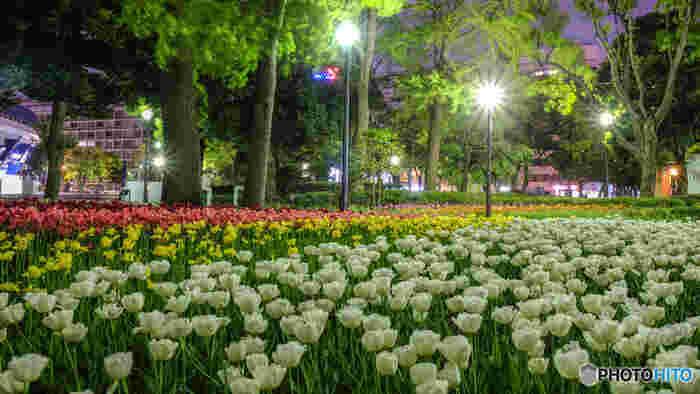 横浜公園内では街燈がたくさんあり、夜になってもチューリップが明るく照らされています。仕事帰りに、横浜公園へ少しだけ寄り道して、春の風物詩でもあるチューリップの夜間鑑賞を楽しんでみるのもおすすめですよ。