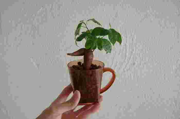 たとえミニサイズでも、育てやすい観葉植物じゃないとやっぱり不安だな・・・という方におすすめなのが、乾燥や寒さに強い「ガジュマル」です。一人暮らしでも、小さいサイズならマグカップに入れて飾るのも可愛いですね。