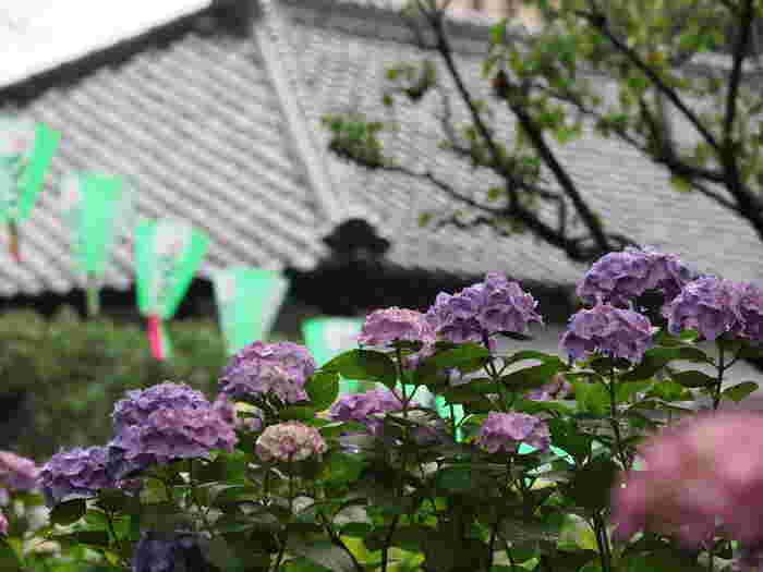 古くからアジサイの名所として知られている白山神社では約3000株のアジサイが植栽されています。アジサイが見頃を迎える時期には、「文京あじさい祭り」が開催され、東京都文京区における初夏の風物詩となっています。