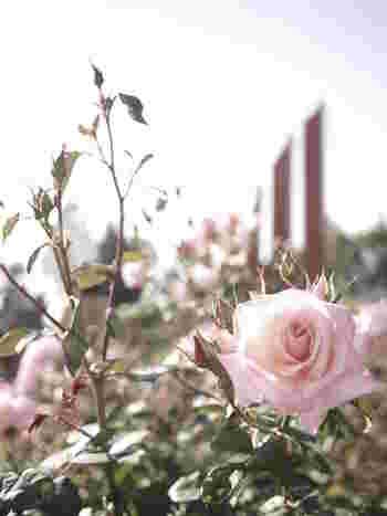 3本柱の平和モニュメントを囲うようにバラ園が広がります。南欧風で立体的なバラの植え付けが大変美しい上に無料で入場できるため、人気スポットです。