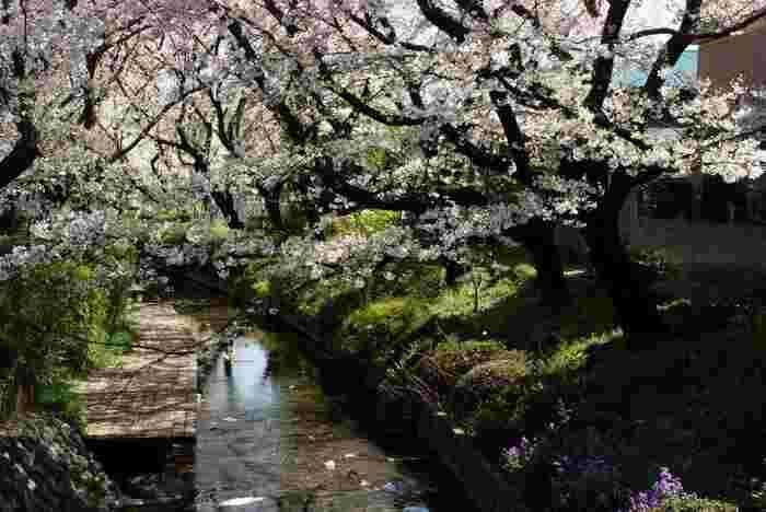 生田緑地近くのニケ領用水も桜並木がきれいです。合わせて散策するのもおすすめ。