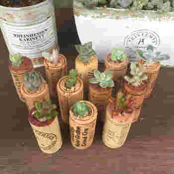 ワインコルクの中央に穴を開けると用途が広がります。ミニ多肉植物のプランターとして。