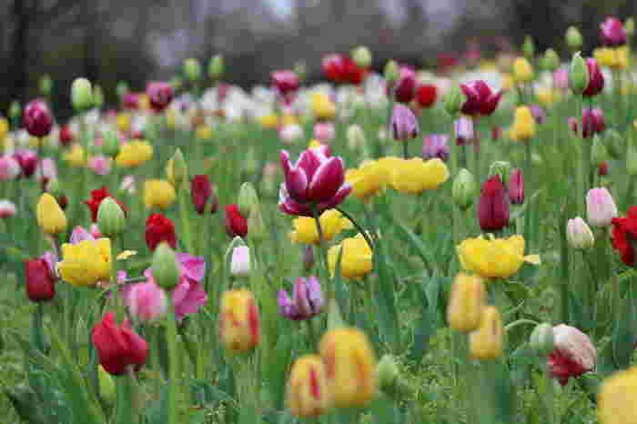 春には色とりどりの可愛らしいチューリップが楽しめます。夏はひまわり、秋はコスモスと季節ごとのいろいろなお花が広い敷地いっぱいに咲き誇っています。
