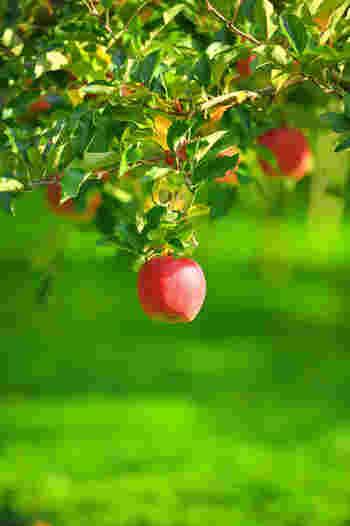 りんごの果実が大きくなり、甘くなる仕組みに欠かせないのが日光です。光合成で作られたデンプンは実を大きくするのに使われた後、秋になると糖に変化して甘くおいしくなります。