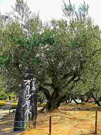日本で初めて収穫できたオリーブの原木。今もたわわにおいしい実をつけてくれます。