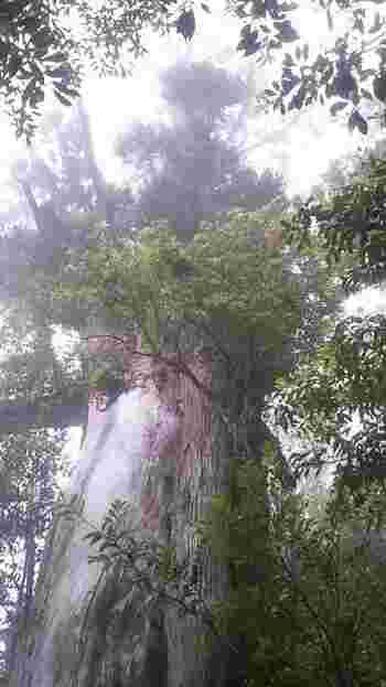 白谷雲水峡にある「弥生杉」は、なんと推定樹齢は3000年。幹には、わたしたち人間には想像もできないほどの、遥かなる時が刻まれているんですね。