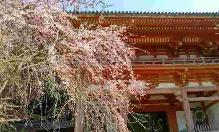 「醍醐寺」の桜は豊臣秀吉の「醍醐の花見」として有名で、1000~1300人が集まりお花見をしたと言われています。数種類の桜が植えてあるため、お花見を長期間楽しめるのも魅力のひとつ。境内には赤い日傘の立ったお茶屋さんのような休憩スペースがあり、お抹茶をいただきながら桜を眺めるのも風流で素敵です。