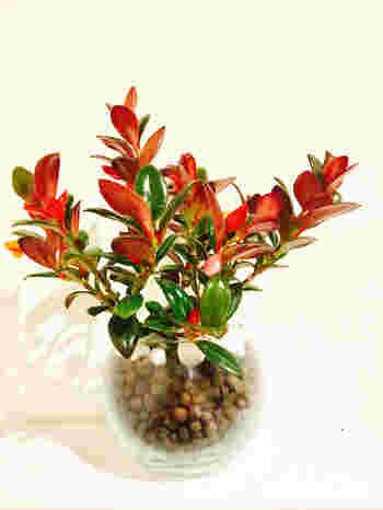 とても鮮やかな赤い葉の美しいコルムネアという植物です。成長すると葉が垂れ下がるので、お部屋の中が何だか華やかになりそうですね。