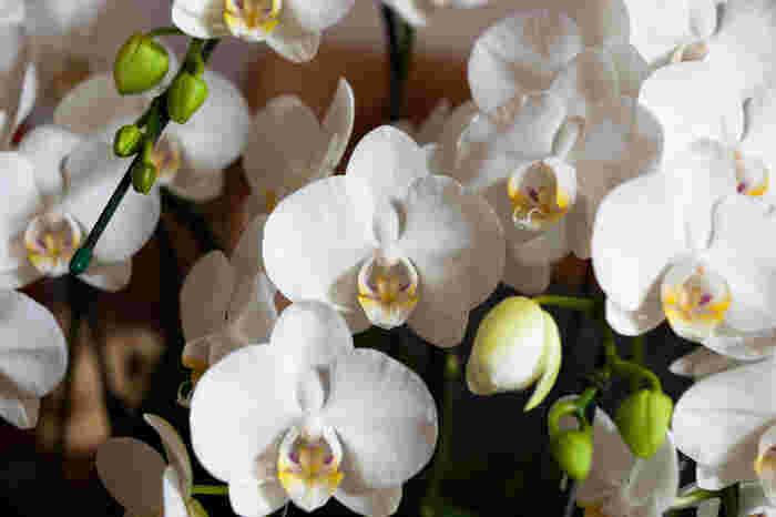 たくさんの蝶が飛び交うような優美な姿か美しい胡蝶蘭。花言葉は「幸せが飛んでくる」「清純」「あなたを愛します」です。お祝い事には祝福の気持ちを、お見舞いには回復を願う気持ちを、お供えには残されたご家族の今後の幸福への願いを伝えられるオールマイティなお花です。