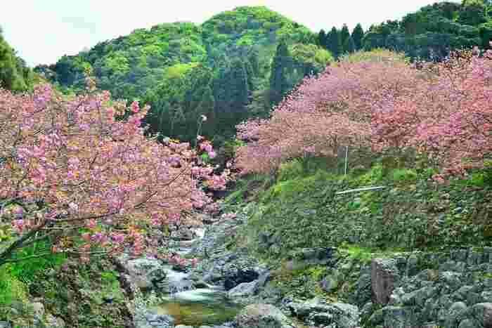 見頃は4月上旬~下旬で、4/6~4/25(予定)まで「ぼたん桜 雲海祭り」が開催されます。また、4/13・14・20・21には、夜桜鑑賞が行われる予定です。祭り期間中は、数量限定の手作り桜もちが販売されます。売り切れ必至なので、気になる方はお早めに!
