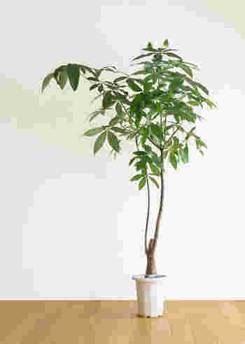 パキラはとても丈夫で強い観葉植物で、初心者さんに特におススメです。日当たりの良い場所を好むので、レースカーテンやブラインド越しの明るい窓辺に置いてあげましょう。あまり日当たりの良くない部屋でもあきらめないで。パキラは少しの環境の悪さでも元気に育ってくれる強い子なんです!