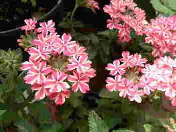 小さな花が集まって咲いている様から「団結・和合」を意味する花言葉がつけられています。古代には媚薬としても用いられていたとか。