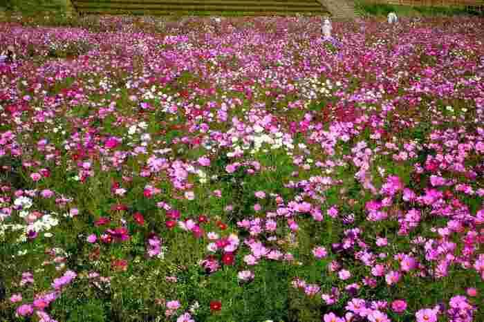 自然の起伏を活かして造成された緑豊かなくりはま花の国では、約2.3ヘクタールのお花畑に100万本以上ものコスモスが開花します。コスモスが見頃を迎える時季になると「コスモスまつり」も開催されます。