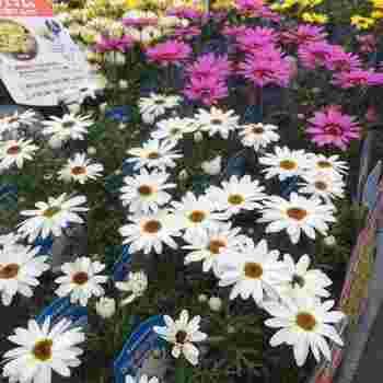 苗植えの場合は、種まきと同様にプランターに土入れをし、間隔に注意しながら植え付けします。65㎝のプランターなら2~3株、90㎝なら3~5株。土に苗の株よりも少し大きな穴をあけ、苗の土を軽く落として植えましょう。株元が、土の表面と同じ高さになればOK。植えたらたっぷりと水をやり、直射日光の当たらない日当たりのいい場所に置きます。
