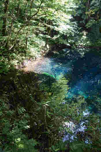 青池は世界遺産の白神山地にある十二湖の内の1つで、その中でも最も有名で人気のある場所です。 驚くことにこのブルーは完全に自然が作り出したもので、はっきりとした原理はいまだに解明されていないのだそう。 天気や光の当たり具合、見る角度によって表情を変える青は、一度は見てみたいと思わせる美しさです。
