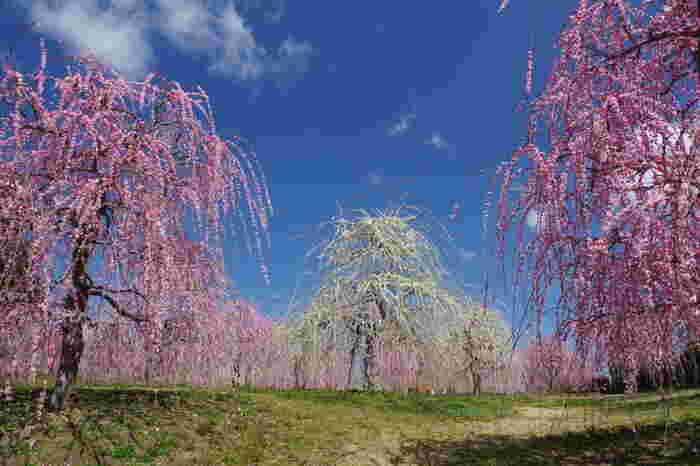 四季折々で美しい花が咲く三重県での花の名所「かざはやの里」では、約500本の梅が植えられています。抜けるような青空の下で紅白の枝垂梅が満開に花を咲かせる様は壮観で、訪れる人々を魅了してやみません。