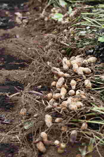 生の落花生は「地下結実性」。種まきのあと、黄色い小さな花が咲いて枯れると、つる状のもの(子房柄)が伸び、これが土の中に入ります。その先端が膨らんで実になるのが落花生です。
