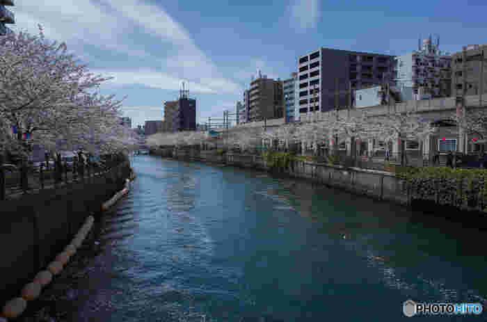 横浜市内をとうとうと流れる大川沿いに整備されたプロムナードには約500本におよぶ桜並木が植樹されており、横浜市でも有数の桜の名所として人気を集めています。