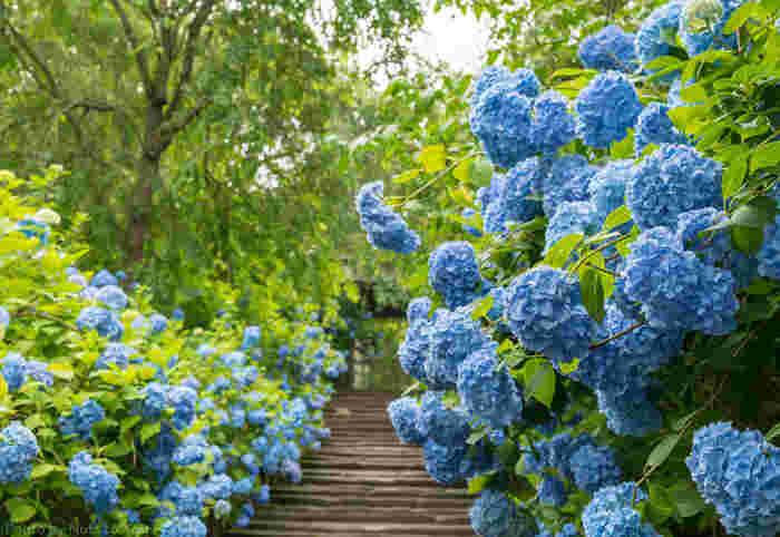 明月院のヒメアジサイのブルーは「明月院ブルー」とも呼ばれ、満開のシーズンは、幻想的で幸せな気分に浸ることができます。