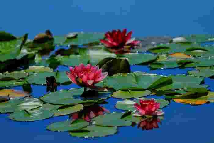 立川にある国営昭和記念公園では例年7月初旬~下旬にかけて蓮が見ごろを迎えるようです。大賀蓮・中国の古代蓮・アメリカ産の珍しい黄色い蓮「バージニア」などの希少種を含め、園内の「さざなみ広場」にはなんと100品種の蓮が展示されるそうです。