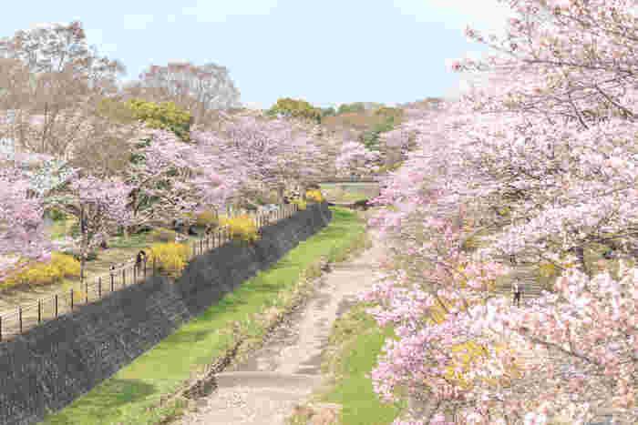 桜の名所としても知られる昭和記念公園。園内には「桜の園」があり、ソメイヨシノを中心としたサクラの下で、春にはお花見を楽しむことができます。樹齢40~50年の大木が多く、一斉に咲き乱れる姿は圧巻です。