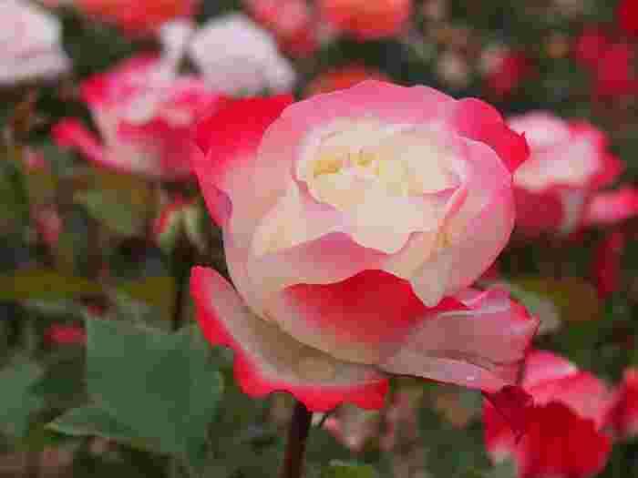 いわみざわ公園のローズガーデンは2013年にリニューアルしており、華やかな見た目と香りの強いオールドローズを中心に植えられています。バラに加えてハマナスも名物となっており、合わせて約630品種ものお花たちが敷地内に8,800株も植えられています。見ごろは6月から7月と、9月から10月です。