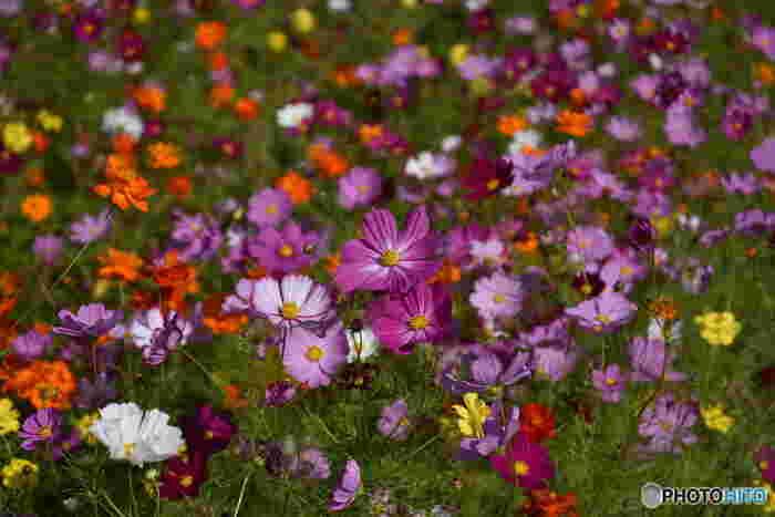 万博記念公園で植栽されているコスモスの品種は多く、20品種を超えます。赤、濃淡ピンク、白、黄色、オレンジ色といった色とりどりのコスモスが競うように花を咲かせる様は壮観です。