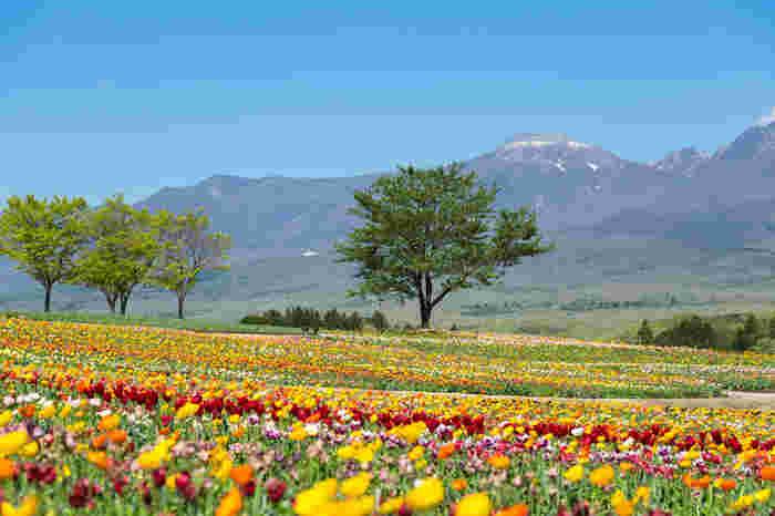 那須フラワーワールドの光景です。北海道の花畑ではなく那須でもこんなに素敵なお花のパッチワークを見ることができるなんて、感激です