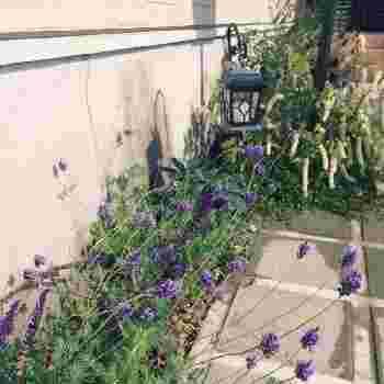 素敵な香りでドライにしても楽しめ、色味も雰囲気があるラベンダー。北欧風の庭づくりにおすすめのお花です。