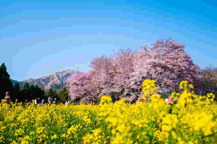 熊本県南阿蘇村にある「一心行の大桜」は、樹齢は400年以上のヤマザクラです。幹の周り7.35m・樹高14m・東西に21.3m・南北に26mもある巨大な桜で、1580年に島津氏との戦いで亡くなった中村(峯)伯耆守惟冬の暮提樹とされています。