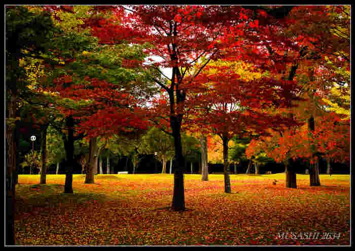 約511ヘクタールという広大な敷地には、桜、南京ハゼ、モミジ、イチョウといった紅葉樹と、松などの常緑樹が混在しています。紅葉の見頃になると落葉の絨毯も相まって、まるで絵画のようですね。