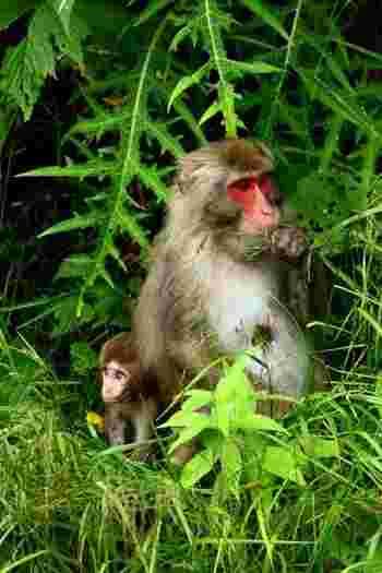 野生のニホンザルと出会えることも! かわいいけれど、決して野生動物には近づかないようにしましょう。