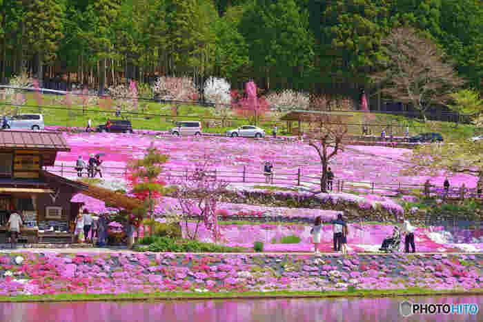 昭和36年頃から、國田家のおばあちゃんが一人でコツコツと育て、現在では広大な敷地に色とりどりの美しい芝桜が咲き誇る「國田家の芝桜」。 毎年4月下旬から5月上旬にかけて、白やピンク、薄紫色の可憐で可愛らしい芝桜が咲き誇ります。