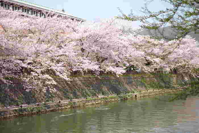 岡崎疎水は、京都市内にある仁王門通沿いに平安神宮周辺から京都市内を悠然と流れる鴨川へと続く琵琶湖疎水の分流です。岡崎疎水の両岸にはたくさんのソメイヨシノが植樹されており、毎年春になると競うように花を咲かせます。