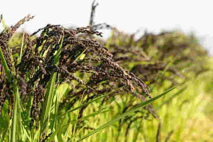 黒米(くろまい、くろごめ)は、玄米の果皮などが黒紫色をした品種。若々しさのキープに役立つといわれるポリフェノールの一種・アントシアニンが豊富で、白米に混ぜて炊くと美しい紫色の上品なご飯に仕上がります。