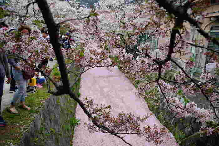 哲学の道では、散り桜を楽しむことができます。見ごろを終えて、木から落ちた花びらは琵琶湖疎水へと舞い落ち、琵琶湖疎水は桜色の川へと変貌します。