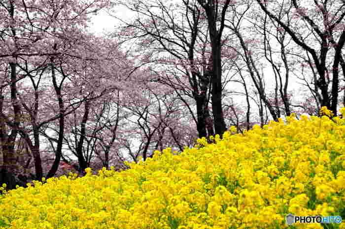 根岸森林公園では菜の花も栽培されています。黄色の花を咲かせる菜の花は、満開に咲き誇る桜の美しさを引き立てています。
