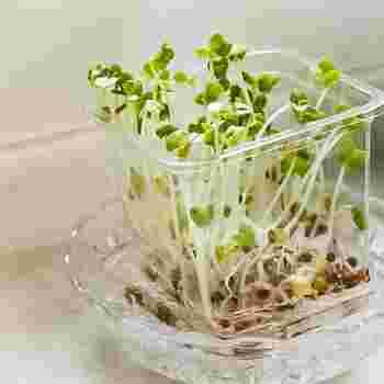 かいわれ大根は光を求めて茎を伸ばすので、なるべく暗いところで育てていきます。1週間ほどして茎が5センチほどに育ったら、今度はしっかり日に当てましょう。緑が濃くなって栄養価もアップします。 ホームセンターや園芸店で売られている袋入りの種はたっぷり入っているので、1度買うとしばらく収穫を楽しめますよ。種まきの楽しみを味わってみませんか。